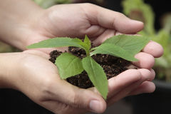 Hands holding sapling in soil Stock Photography