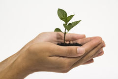 Hands holding seedling Stock Image