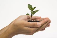 Hands holding seedling Stock Image