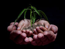 HANDS HOLDING SEEDLING Royalty Free Stock Photos