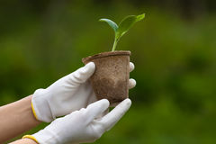Hands holding seedling of marrow Stock Images