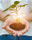 Hands holding seedling trees royalty free stock photo