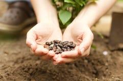Hands Holding Seeds. Bean seeds in gardeners hands Stock Image