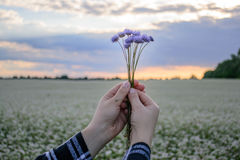 Hands holding a small bouquet of cornflowers against the background of the evening sky and a flower field Royalty Free Stock Images