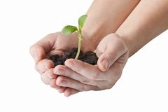 Hands holding small green plant isolated on white background royalty free stock images