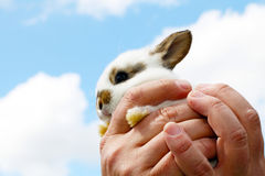 Hands holding small rabbit Royalty Free Stock Image