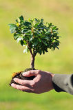 Hands Holding Small Tree. Man's hands holding small tree and soil Royalty Free Stock Images