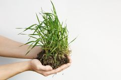 Hands holding small young plant isolated on white background Royalty Free Stock Images