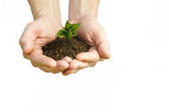 Hands holding small young plant, young tree isolated on white ba Stock Photo