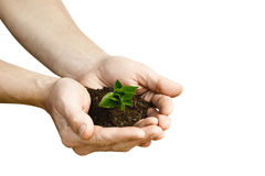 Hands holding small young plant, young tree isolated on white ba Stock Image