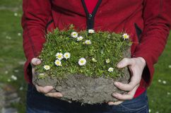 Hands holding soil with grass and daisies Stock Image