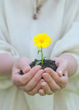 Hands holding soil with white flower Royalty Free Stock Image
