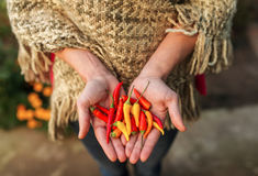 Hands holding some red chili peppers in a vegetable garden. Close up stock photography