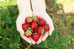 Hands holding strawberries Royalty Free Stock Image
