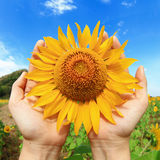 Hands holding sunflower Royalty Free Stock Photo