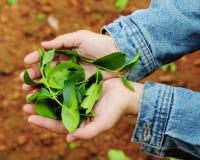 Hands holding tea leaves. In Bao Loc, Vietnam Stock Photography