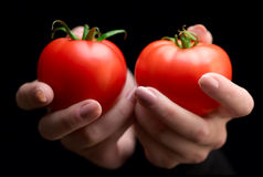 Hands holding tomatoes Royalty Free Stock Images
