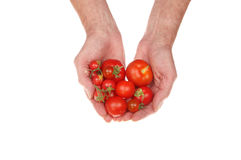 Hands holding tomatoes Stock Photography