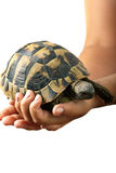Hands holding tortoise Stock Images