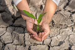 Hands holding tree growing on cracked earth Stock Photos