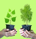 Hands holding tree in pot. Royalty Free Stock Image