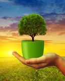 Hands holding tree in pot at sunset. Stock Photos