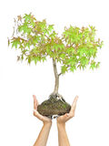 Hands holding tree on white Stock Image