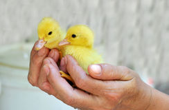 Hands holding two baby ducks. Two wet yellow baby ducks held in hands stock photos