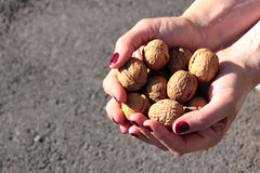 Hands holding walnuts Royalty Free Stock Image