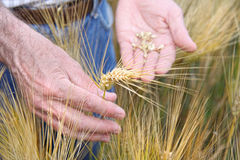 Hands holding wheat Royalty Free Stock Image