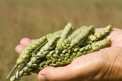 Hands holding wheat. Hands holding green wheat ears Stock Photography