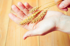Hands holding wheat ears against wooden background.  Royalty Free Stock Photography