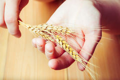 Hands holding wheat ears against wooden background.  Royalty Free Stock Images