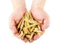 Hands holding wheat ears Stock Photos