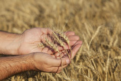 Hands holding wheat. A farmer  holding a sample of this years spring wheat harvest Stock Photo