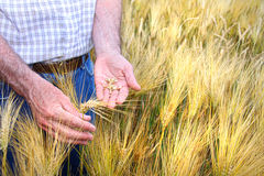 Hands with holding wheat grains Stock Photos