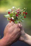 Hands holding wild strawberries Stock Photos