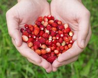 Hands holding wild strawberries Royalty Free Stock Image