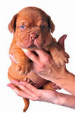 Hands holding wrinkled puppy Stock Photos