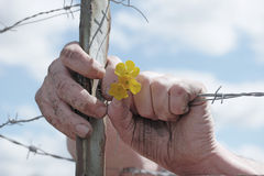 Hands Holding Yellow Flowers and Barbed Wire Fence Royalty Free Stock Photography