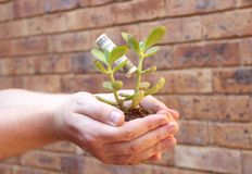 Hands holding young money tree Stock Photography