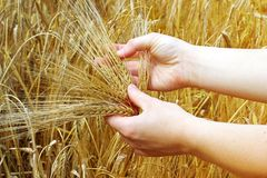 Hands holds barley Royalty Free Stock Photo