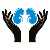 Hands with human kidneys vector symbol. Royalty Free Stock Image