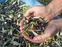 Hands immersed in quality. `Taggiasca` olives of the Ligurian Riviera of West Italy. Selection work during the harvesting of olives before washing and shredding Stock Photo