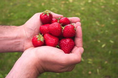 Hands keeping some red strawberries royalty free stock image