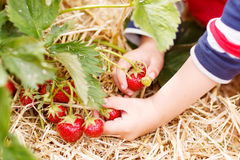 Hands of little child picking strawberries. On organic pick a berry farm in summer, on warm day Stock Image