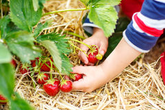 Hands of little child picking strawberries Stock Images