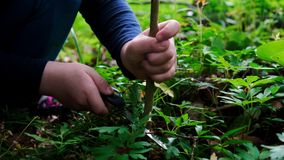 Hands of little girl or boy using a Swiss knife, sawing a piece of wood in the forest, nobody. Hands of little girl or boy using a Swiss knife, sawing a piece of stock video footage