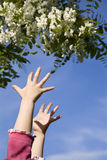 Hands of little girl and flower. Of acacia Stock Photos