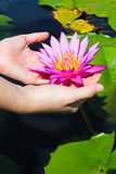 Hands with lotus Stock Image